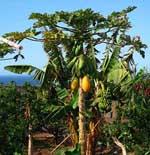 Bananera Jardines del Atántico