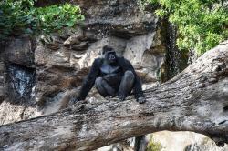 Gorila en Loro Parque, Puerto de la Cruz
